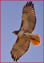 Red-tailed Hawk - Link to Bird Photography Index